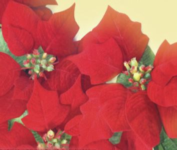 Christmas Flower Remembrance